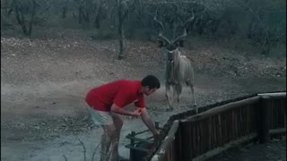 Man fearlessly hand-feeds wild kudu at South African nature reserve