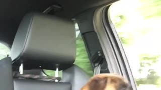 Boxer dog not knowing what to make of a open window in my car - Video
