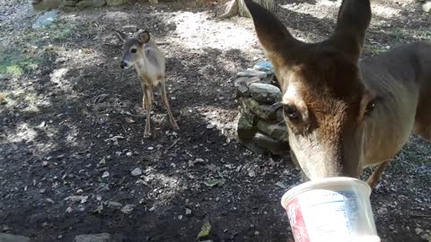 Fawn Slowly Learns How To Eat From Caring Human's Hand