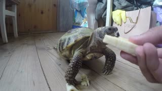 Feeding your pet turtle - Video