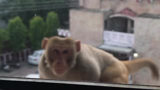 Curious Monkey Breaks Window
