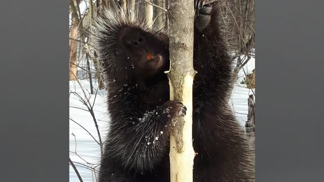 Porcupine has funny interaction with man in the woods - Video
