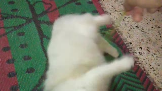 Big Male White Cat Plays With Owner