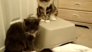 Cats and Parrot playing with box Part 1  - Video