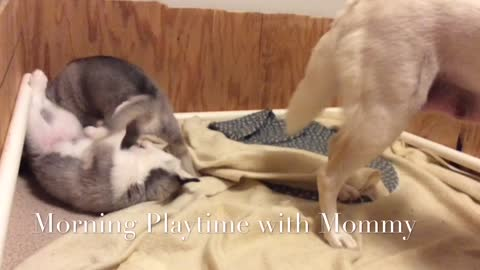 Sleepy Hollow Huskies Typical Morning Husky Puppies Playing and Wrestling with Mommy