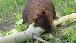 Beaver chews through thick tree limb in seconds