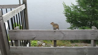 Clever chipmunk follows hazelnut trail - Video