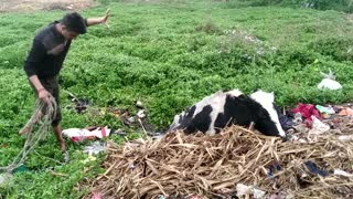 Sinking Cow Rescued from Marsh