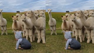 Baby Edward surrounded by curious alpacas