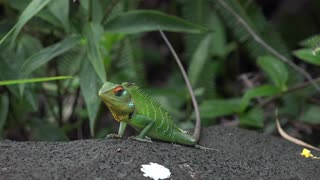 Green Garden Lizard  - Video