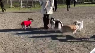 Woman in white jacket stands next to dogs at dog park  - Video