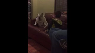 Toddler and English Bulldog dance together - Video