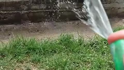 Husky plays with water hose