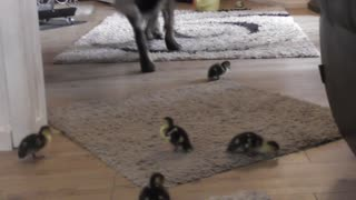 Ducklings explore house with new canine friend - Video