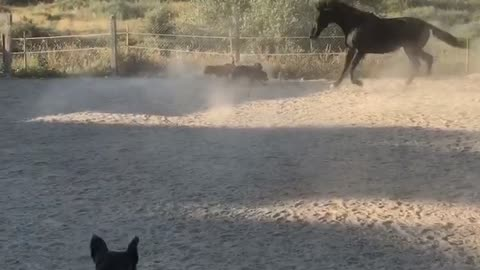 Horse plays fetch with dogs