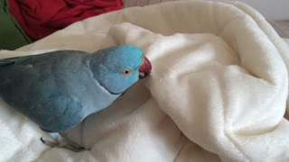 Lazy parrot doesn't want to get out of bed - Video