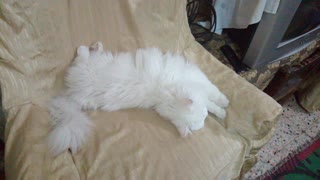 White Cat Sleeping Like An Angel