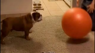 Bulldog perfectly plays catch with giant ball - Video