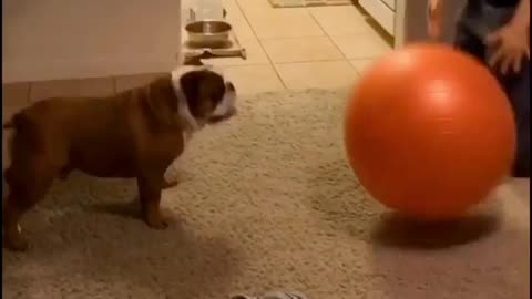 Bulldog perfectly plays catch with giant ball