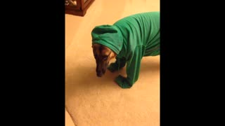 German Shepherd Puppy Dog I like my new Hoody - Video