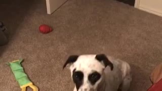 Black dog trying to catch ball but fails  - Video