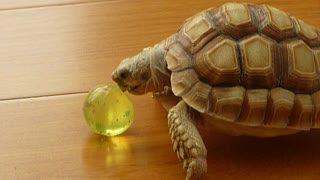 Excited pet turtle shows off ball handling skills