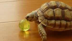 Excited pet turtle shows off ball handling skills - Video