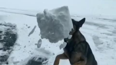 German shepherd catches snow with mouth