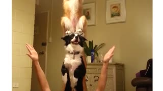 Two dogs perform unbelievable balancing trick - Video