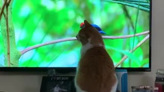 Cat watches wildlife documentary, tries to catch birds on TV