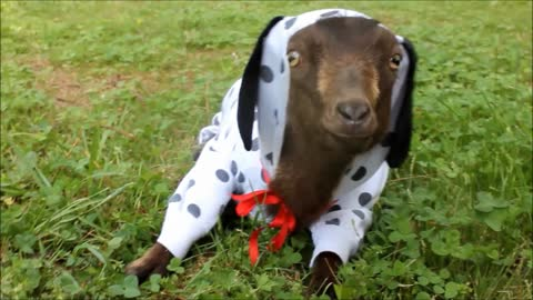 Goat dresses up in hilarious dog costume