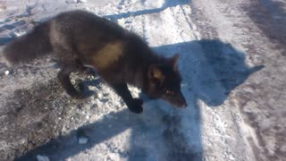 Fearless Black Fox - Video