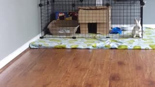 White bunny jumps over cage and escapes - Video