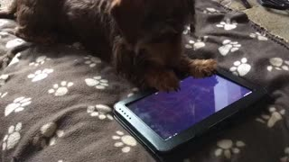 Dachshund intense plays game on tablet