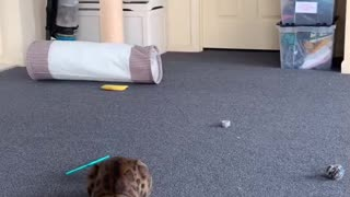 Bengal Cat Does Crazy Flip For Toy
