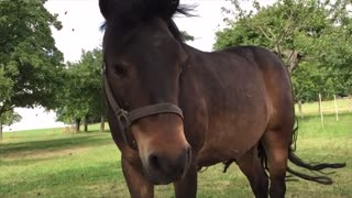 The flies bother the horse (Slow Motion)