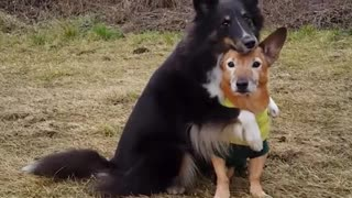 Black white dog hugs brown dog in forest - Video