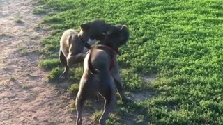 Couple of Dogy Playing Together