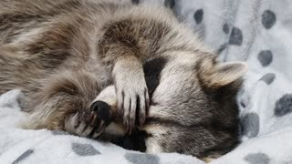 Raccoon scrubs his nose hard before going to bed.
