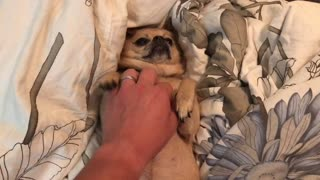 Pampered dog demands owner scratch her  - Video