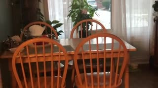 Collab copyright protection - small orange kitten table slide fall - Video