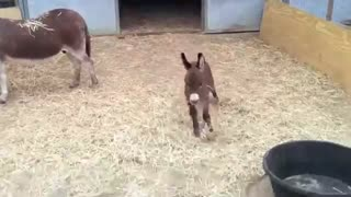 Adorable baby donkey ! - Video