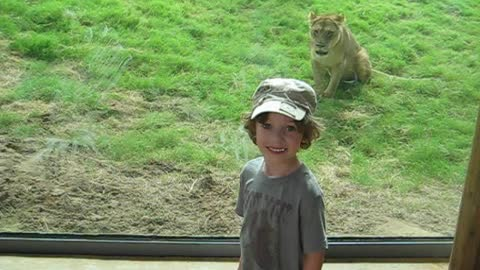 Boy Doesn't See Lion Pounce At Glass