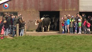 Cows Jump For Joy After Seeing Sky For The First Time In 6 Months - Video