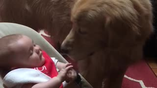 Baby discovers the joy of Golden Retriever kisses