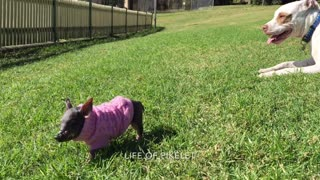 Rescued Mini Piglet plays at the dog park - Melts hearts! - Video