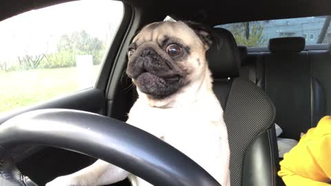 """Driving: pug displays classic signs of road rage"