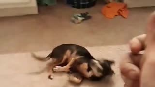 Little dog, big tricks!