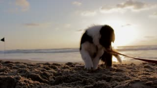 Puppy Dog Playful Beach Sand Play Canine Pet - Video