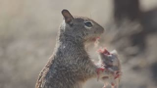 Squirrel Eating Mouse - Video